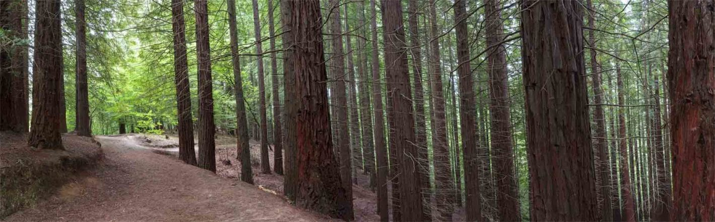 bosque sequoyas