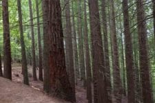 Bosque de Sequoyas