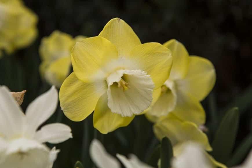 Narcisos 1