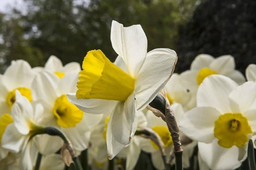 Narcisos 2