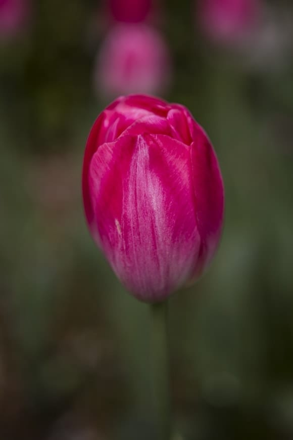 Tulipanes 8