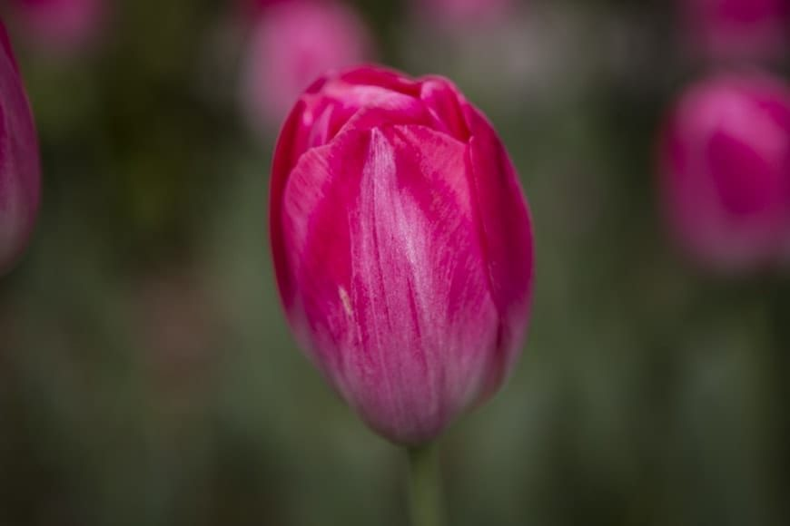Tulipanes 9