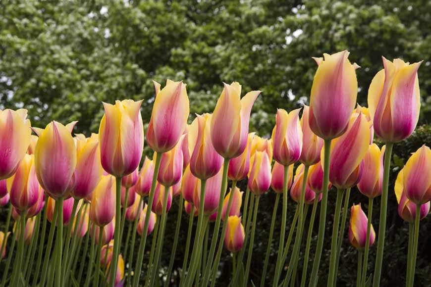Tulipanes 2