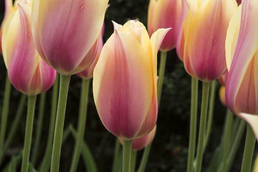 Tulipanes 3