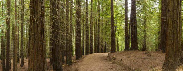 Camino entre sequoyas