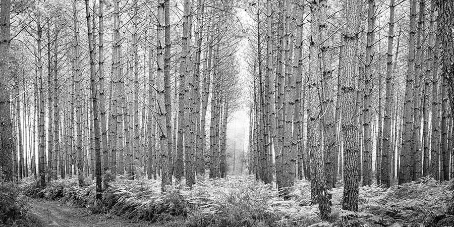 Fotografía en blanco y negro de un bosque para hacer un fotomural