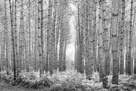 Foto de un bosque en blanco y negro para decorar cualquier estancia